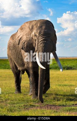 Una bull elephant getting pericolosamente vicino al veicolo di safari nel Samburu riserva nazionale. Foto Stock