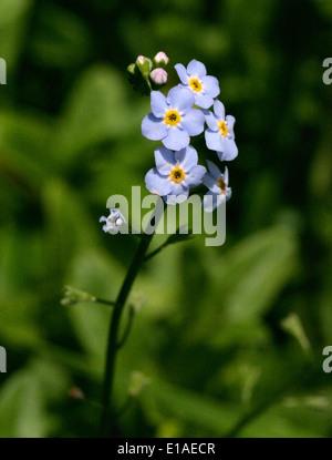 Acqua Forget-Me-Non, Myosotis scorpioides, Boraginaceae Foto Stock