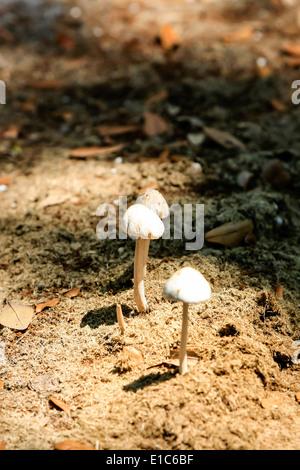 Gruppo di funghi selvatici che crescono su un mucchio di escrementi di cavallo Foto Stock