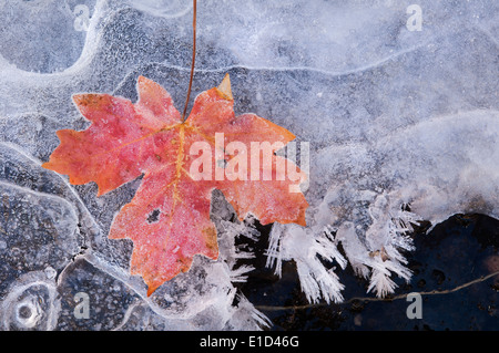 Una foglia di acero in autunno colori su ghiaccio. Foto Stock