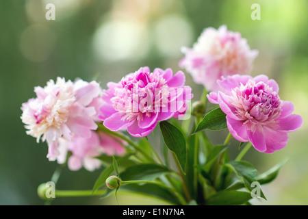 Primo piano di fiori (le peonie). Profondità di campo Foto Stock