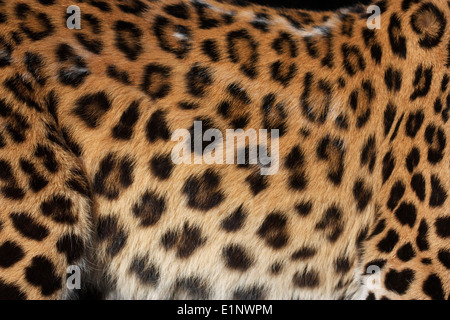 Pelle di leopardo Foto Stock