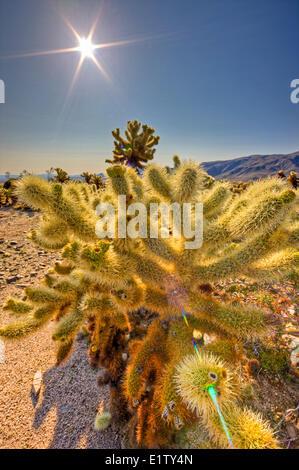 Cholla Cactus Garden, Cylindropuntia fulgida, Joshua Tree National Park, Deserto Mojave, CALIFORNIA, STATI UNITI D'AMERICA Foto Stock