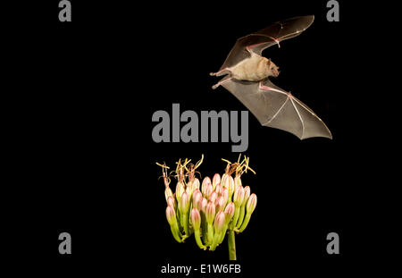 Minore a becco lungo (bat Leptonycteris yerbabuenae), alimentando il fiore di Agave, Amado, Arizona. Questo bat è elencato come vulnerabili. Foto Stock