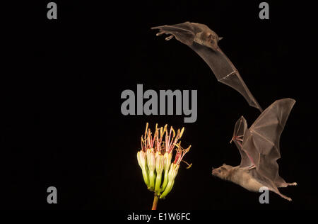 Minore a becco lungo (bat Leptonycteris yerbabuenae), alimentando il fiore di Agave, Amado, Arizona. Questo bat è elencato come vulnerabili.