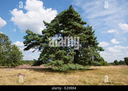 Di Pino silvestre (Pinus sylvestris), Lüneburg Heath Nature Park, Bassa Sassonia, Germania Foto Stock