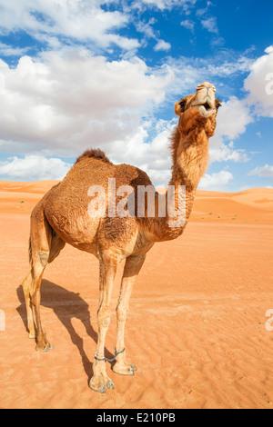 Immagine del cammello nel deserto Wahiba Oman Foto Stock