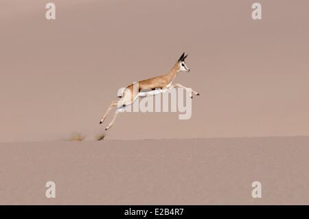 La Namibia, Skeleton Coast National Park, Springbok (Antidorcas marsupialis) in esecuzione sulla duna di sabbia Foto Stock