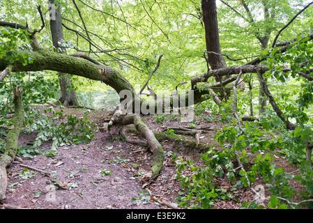 Rotture di quercia come i danni provocati da una tempesta in una foresta Foto Stock