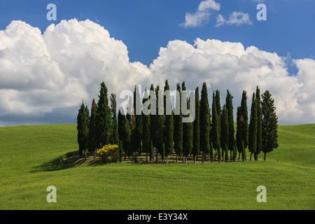 Cerchio di cipressi nei pressi di Torrenieri nel cuore della Toscana, Italia Foto Stock