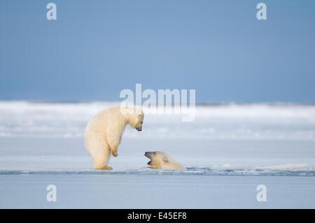 Due orso polare (Ursus maritimus) primavera cubs giocando in e intorno al nuovo pacchetto di formazione di ghiaccio Foto Stock