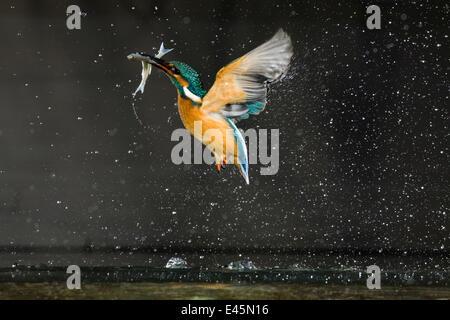 Kingfisher (Alcedo atthis) in volo portando il pesce, Balatonfuzfo, Ungheria, Gennaio 2009.WWE mostra all'aperto. Foto Stock