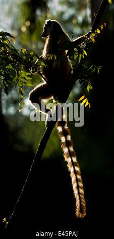 Anello-tailed Lemur (Lemur catta) sun basking all'alba. Berenty Riserva Privata, Madagascar meridionale. Foto Stock