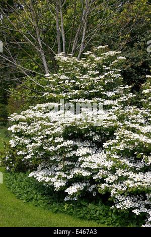 Snowball Giapponese Viburnum Plicatum Summer Il Simbolo Del Fiocco