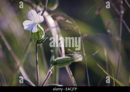 Bianco tabacco ornamentali - Nicotiana affinis