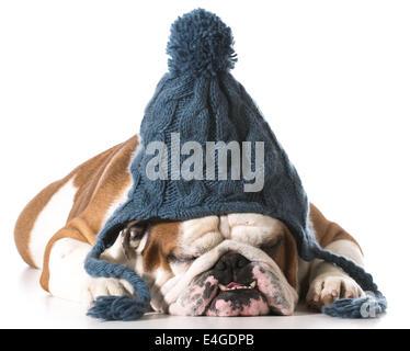 ... Cane indossando maglia Cappello invernale su sfondo bianco - Bulldog  inglese Foto Stock cb1071843628