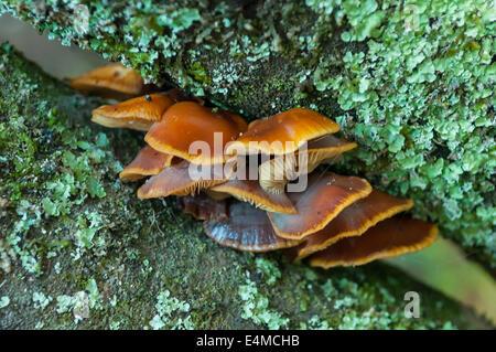 Cortinarius abnormis nella Foresta di Sherbrooke, Monbulk, Victoria, Australia Foto Stock