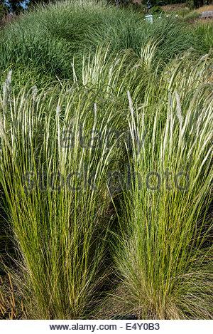 Erba ichu Stipa, nome comune peruviana di erba in piuma Foto Stock