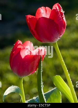 Gocce di rugiada sul rosso Tulip Foto Stock
