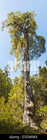 Nuova Zelanda, Isola del Sud, Tasmania, Kahurangi national park, montane foresta nativa con Southern faggio Foto Stock