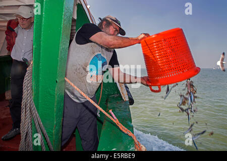 Pescatore sul bordo di gamberi di pesca dalla barca per gamberi gettando le catture accessorie torna in acqua di Foto Stock