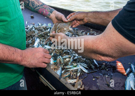 Pescatori di gamberi di smistamento da catture accessorie a bordo della barca da gamberetti la pesca di scampi nel Foto Stock