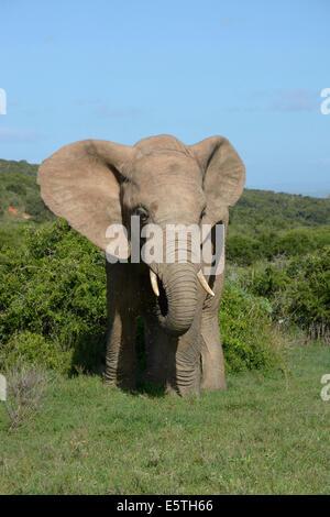 Elefante africano (Loxodonta africana), Addo Elephant National Park, Capo orientale, Sud Africa Foto Stock