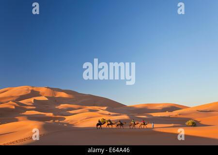 Il Tuareg uomo porta camel train, Erg Chebbi, il Deserto del Sahara, Marocco Foto Stock