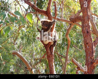 Il Koala nella struttura ad albero, Phascolarctos cinereus, Australia Foto Stock