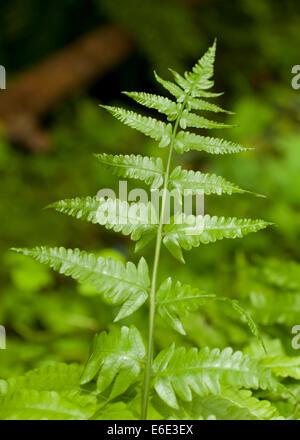 Mescolare con una frusta foglie di felce (Psilotum nudum) Foto Stock