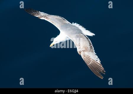 Seagull volare al di sopra del mare Foto Stock