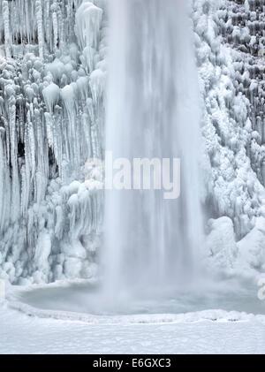 Close up di equiseto cade con ghiaccio e neve. Columbia River Gorge National Scenic Area, Oregon