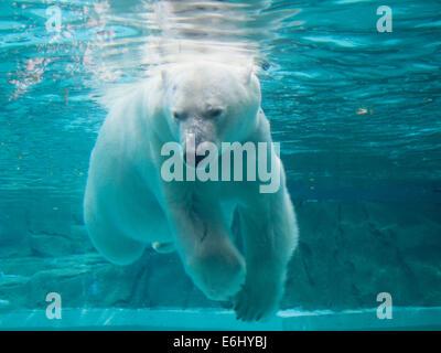 Anana, il resident femmina orso polare del Lincoln Park Zoo di Chicago, nuota sott'acqua. Foto Stock