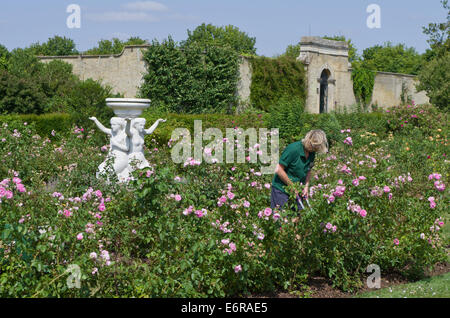 Signora giardiniere lavora nel giardino di rose a strappare Park, UK; una classica statua in marmo in background. Foto Stock