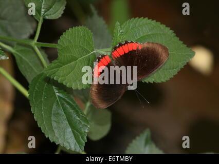 Cerchio rosso butterfly (Biblis hyperia) a.k.a. Crimson-nastrati FARFALLA NERA Foto Stock