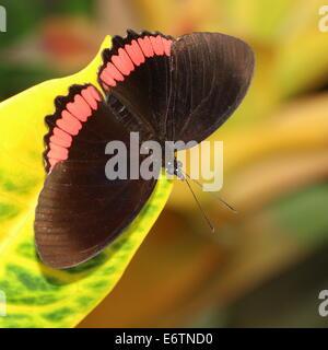 Cerchio rosso butterfly (Biblis hyperia) a.k.a. Crimson-nero nastrati butterfly, trovata nelle Americhe Foto Stock
