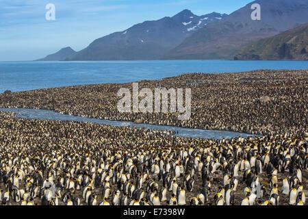 Pinguino reale (Aptenodytes patagonicus) allevamento colonia in st Andrews Bay, Georgia del Sud, Regno Unito protettorato Foto Stock