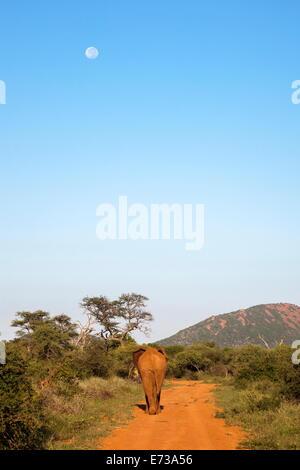 Bull elefante africano (Loxodonta africana) passeggiate off, riserva Madikwe, nord ovest della provincia, Sud Africa Foto Stock