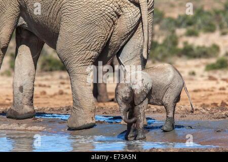 Elefante africano (Loxodonta africana) vitello in acqua, Addo Elephant National Park, Sud Africa e Africa Foto Stock