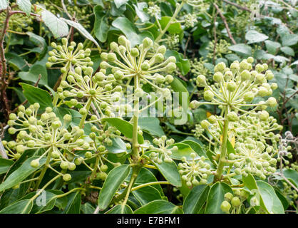 Fiori di selvatico edera comune Hedera helix in un inglese di siepe Foto Stock