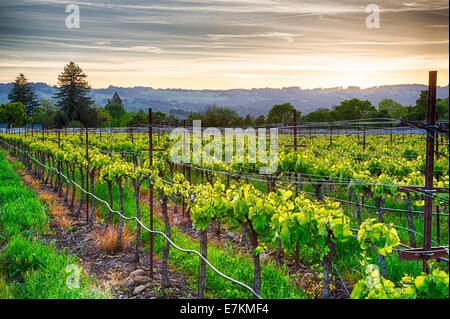 Tramonto sui vigneti della California Wine Country. Sonoma County, California Foto Stock