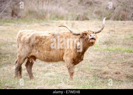 Highland scozzesi i bovini sono noti per essere eccezionalmente robusta e facile da sollevare. Essi sono anche bellissimi Foto Stock