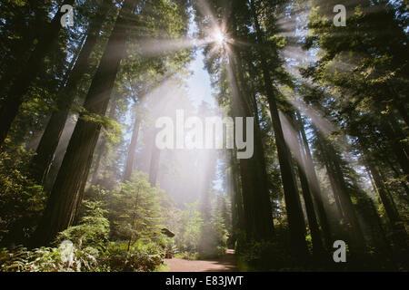 Sunray attraverso la foresta a Lady Bird Johnson grove Foto Stock