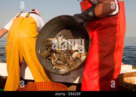 Pescatore di granchi di scarico dal bagno di stagno a bordo di barche da pesca, ritagliato, Chesapeake Bay, Maryland, Foto Stock