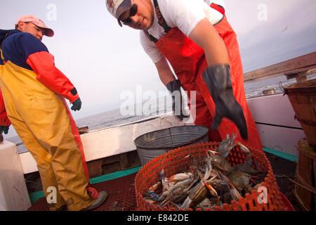 Fisherman gettando i granchi nel cestello a bordo di barche da pesca, Chesapeake Bay, Maryland, Stati Uniti d'America Foto Stock