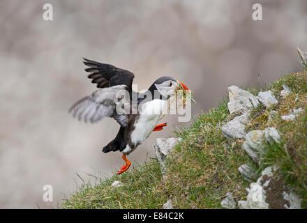 Atlantic Puffin Fratercula arctica con materiale di nido Hermaness NNR Unst Shetland Foto Stock