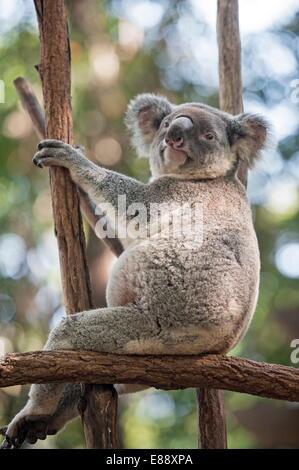 Koala (Phascolarctos Cinereous) di appoggio nella struttura ad albero, Lone Pine Koala Sanctuary, Brisbane, Queensland, Foto Stock