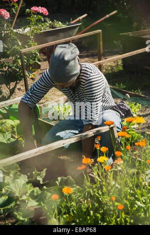 Giardiniere lavora su patch vegetale Foto Stock