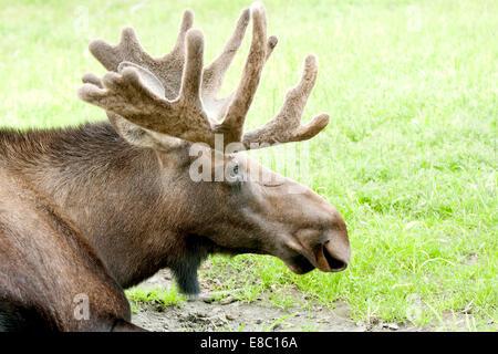 Un toro di Caribou Coffee Company appoggia durante il giorno in Alaska