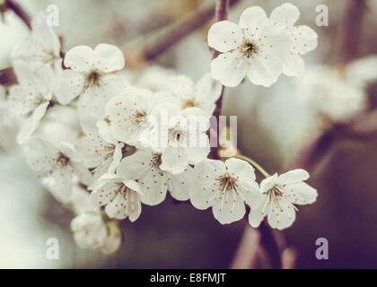 Close-up di fiori di ciliegio fiori Foto Stock